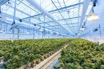 cannabis marijuana cmms